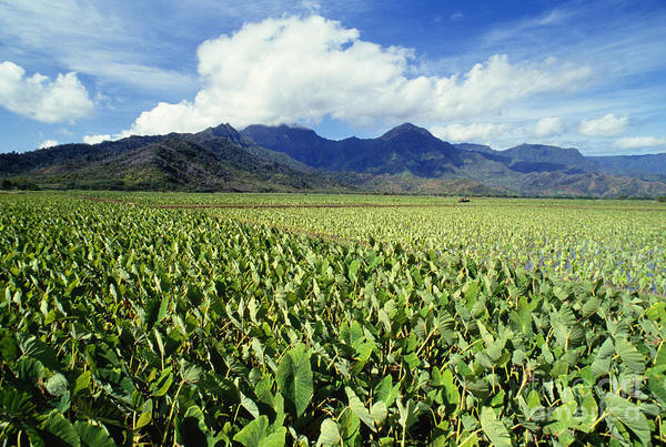 Afternoon Poster featuring the photograph Kauai, Wet Taro Farm by Bob Abraham - Printscapes