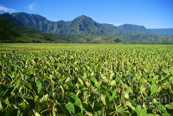 Afternoon Poster featuring the photograph Kauai, Wet Taro Farm by Himani - Printscapes