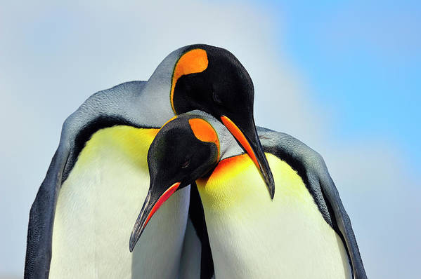 King Penguin Poster featuring the photograph King Penguin by Tony Beck