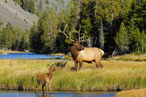 Elk Poster featuring the photograph Little Big Man by Sandy Sisti
