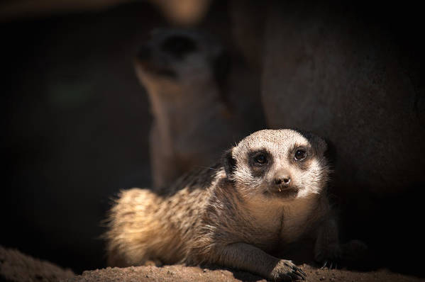 Mighty Masked Meerkat Poster featuring the photograph Mighty Masked Meerkat by Paul W Sharpe Aka Wizard of Wonders