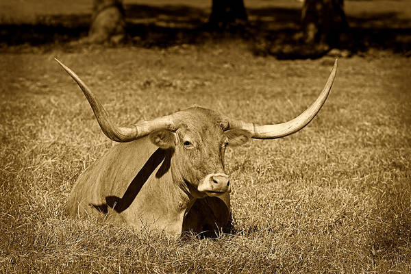 Cows Poster featuring the photograph Monochrome Longhorn Cow Rsting In Grass by M K Miller
