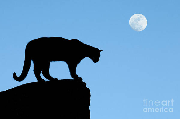 Cougar Poster featuring the photograph Moonrise And Cougar by Sandra Bronstein