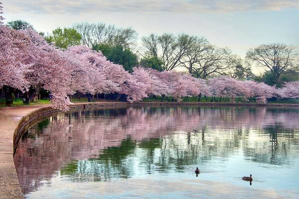 Cherry Blossoms Poster featuring the photograph Nature Heals by Mitch Cat
