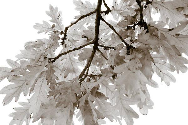 Oak Poster featuring the photograph Oak Leaves by Frank Tschakert