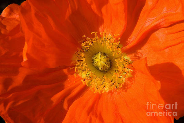 Nature Poster featuring the photograph Orange Poppy Flower by Julia Hiebaum