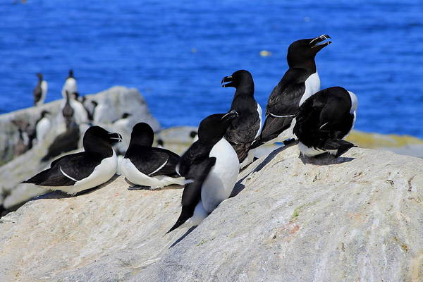 Puffin Poster featuring the photograph Razorbills by John Burk
