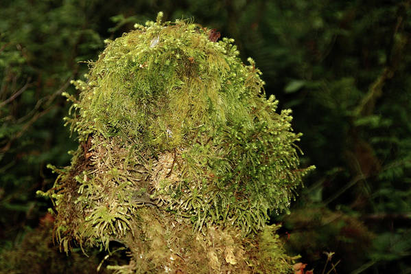 Tree Trunk Poster featuring the photograph Seasons Of Magic - Hoh Rainforest Olympic National Park Wa by Christine Till