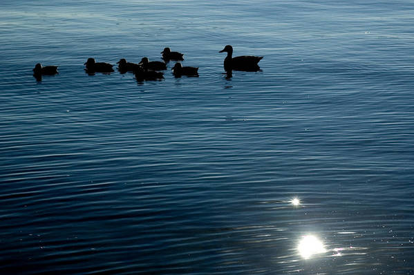 Photography Poster featuring the photograph Silhouetted Duck Family Swims by Todd Gipstein