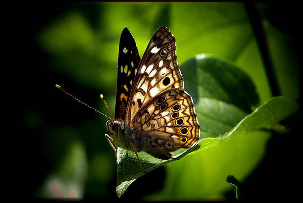 Butterfly Poster featuring the photograph Sunlit Butterfly by Karen M Scovill