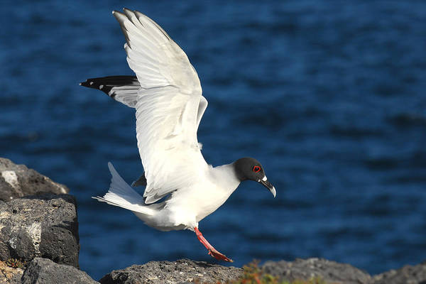 Sea Birds Poster featuring the photograph Swallow Tailed Gull Landing by Alan Lenk