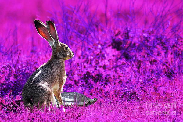 Year Of The Rabbit Poster featuring the photograph The Tortoise And The Hare . Magenta by Wingsdomain Art and Photography