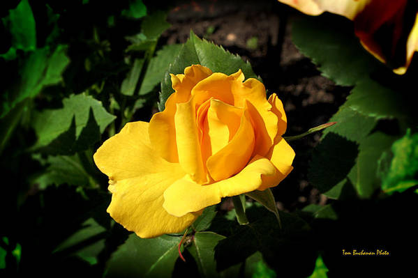 Yellow Poster featuring the photograph The Yellow Rose Of Garden by Tom Buchanan