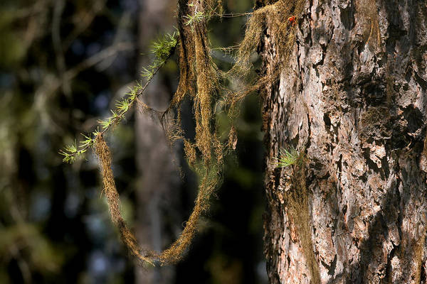 Moss Poster featuring the photograph Tree Moss - Green Soft Beauty by Christine Till