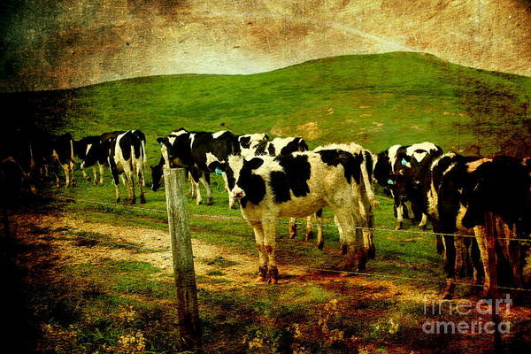 Cow Poster featuring the photograph When The Cows Come Home . Photoart by Wingsdomain Art and Photography