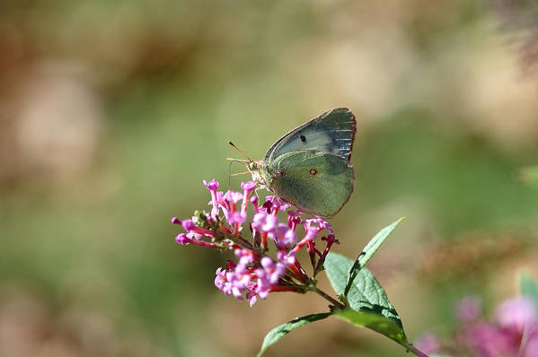 Butterfly Poster featuring the photograph Wings And Petals by Betty LaRue