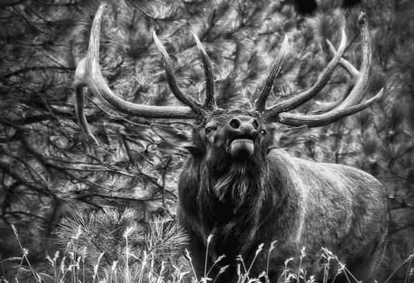 Elk Poster featuring the photograph Bull Elk Bugling Black And White by Ron White
