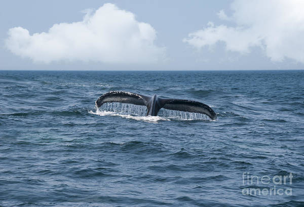 America Poster featuring the photograph Humpback Whale Fin by Juli Scalzi