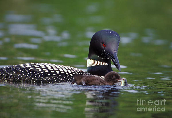 New Hampshire Poster featuring the photograph Loon Feeding Chick by Jim Block