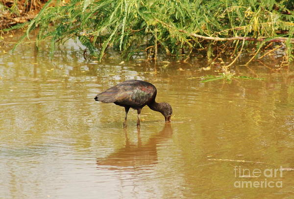 Glossy Ibis Poster featuring the photograph Glossy Ibis by Kathy Gibbons