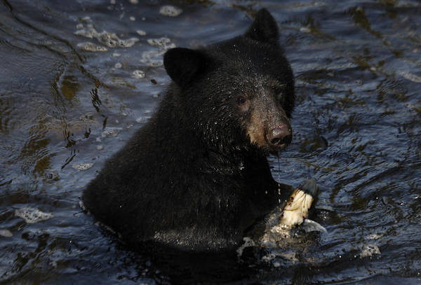 Tongass National Forest Poster featuring the photograph A Black Bear Feeds On Salmon In Anan by Melissa Farlow