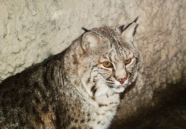 Bobcat Poster featuring the photograph Bobcat Iv by DiDi Higginbotham