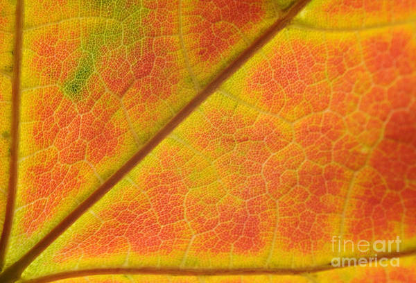 Leaf Poster featuring the photograph Hidden Mosaic by Luke Moore