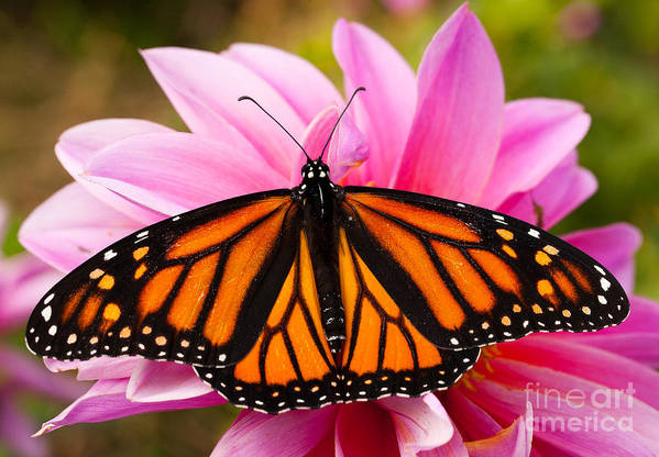 Augustin Poster featuring the photograph Monarch And Dahlia by Steve Augustin