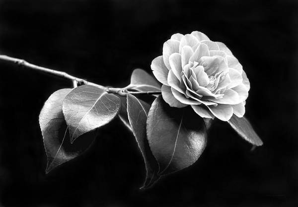Camellia Poster featuring the photograph Camellia Flower In Black And White by Jennie Marie Schell