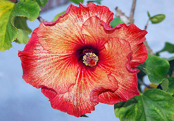 Hibiscus Poster featuring the photograph Hibiscus - Mahogany Star Flower by Donna Proctor