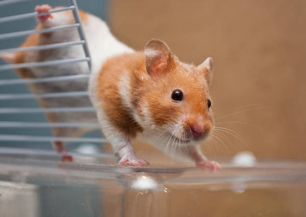 Animal Poster featuring the photograph Hamster by Tom Gowanlock