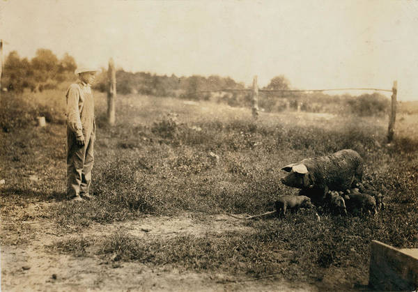 1910s Poster featuring the photograph Homer Hunt Tending Pigs, Rockcastle by Everett