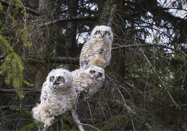Alberta Poster featuring the photograph Three Great Horned Owl Bubo Virginianus by Richard Wear