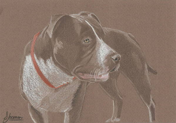 American Pit Bull Terrior Poster featuring the drawing American Pit Bull Terrior 1 by Stacey Jasmin