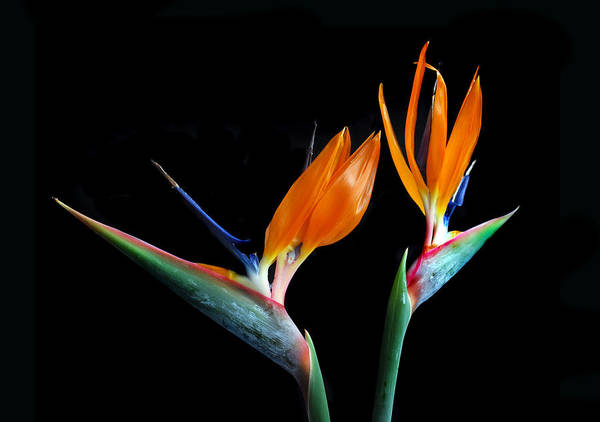 Bird Of Paradise Flower Poster featuring the photograph Birds Of Paradise by Terence Davis