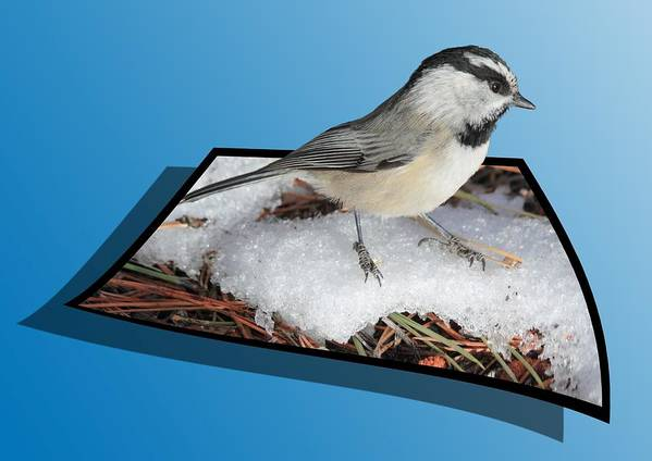 Chickadee Poster featuring the photograph Cold Feet by Shane Bechler