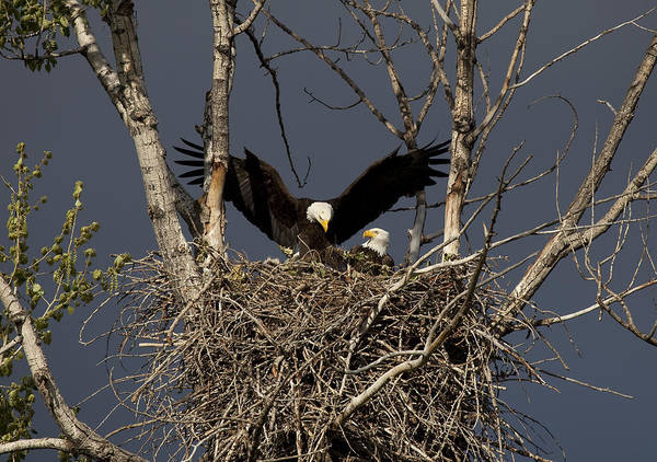 Eagle Poster featuring the photograph Returning Home To The Nest by Mike Dawson