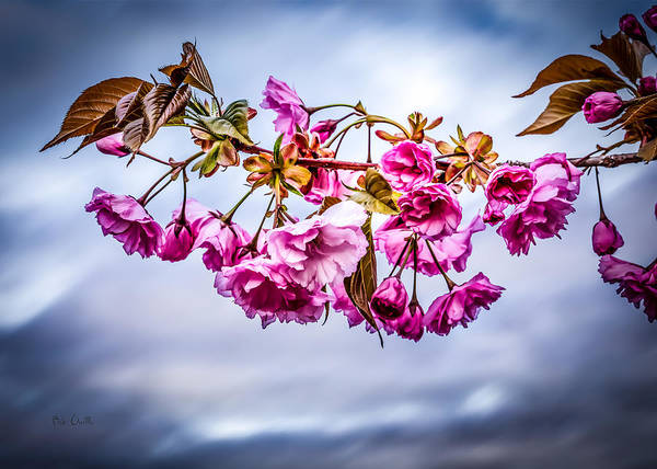 Crabapple Poster featuring the photograph Crab Apple Tree by Bob Orsillo