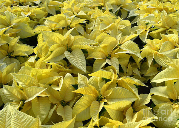 Poinsettias Poster featuring the photograph Golden Poinsettias by Catherine Sherman