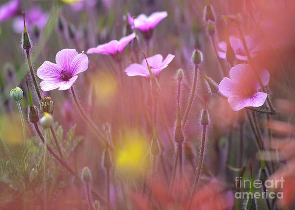 Horizontal_format Poster featuring the photograph Pink Wild Geranium by Heiko Koehrer-Wagner
