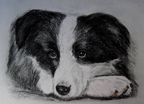 Dog Poster featuring the drawing Borden Collie Pup by Joan Pye