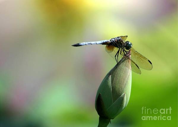 Dragonfly Poster featuring the photograph Dragonfly In Wonderland by Sabrina L Ryan