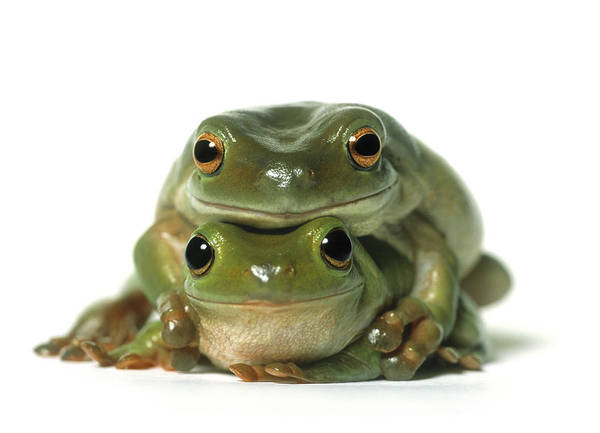 Light Poster featuring the photograph Mating Frogs by Darwin Wiggett