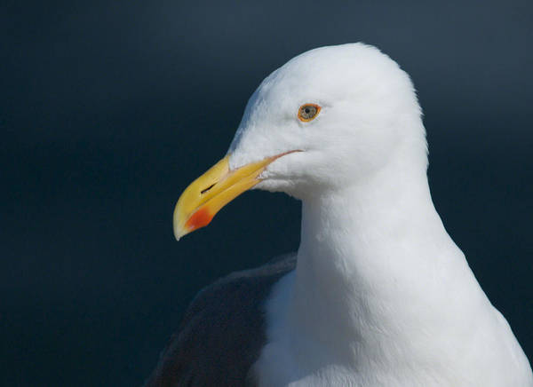 Western Gull Poster featuring the photograph Gull Watcher by Bob Smithing