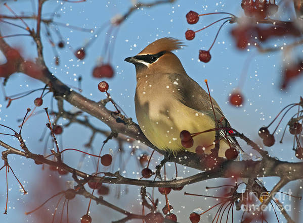 Cedar Waxwing Poster featuring the photograph Let It Snow Let It Snow Let It... by Nina Stavlund