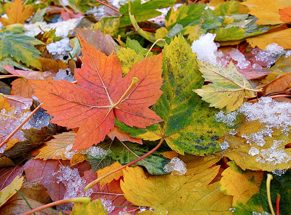 Leaves Poster featuring the photograph Seasonal Mix by Rona Black