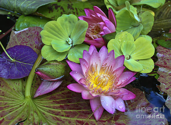 Pink Magenta Rose Waterlily Poster featuring the photograph Lilies No. 28 by Anne Klar