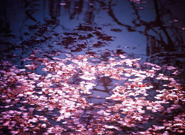 Cherry Blossom Poster featuring the photograph Spring's Embers - Cherry Blossom Petals On The Surface Of A Pond by Vivienne Gucwa