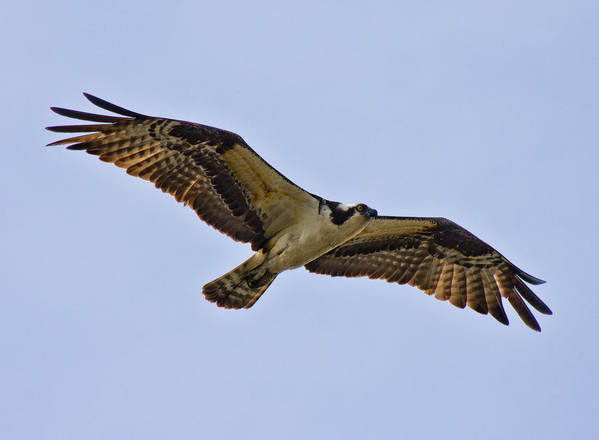Topsail Poster featuring the photograph Topsail Osprey by Betsy Knapp