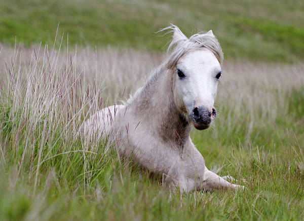 Horizontal Poster featuring the photograph Wild Welsh Pony by Steve Hyde